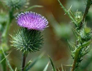 Image: Scottish Thistle