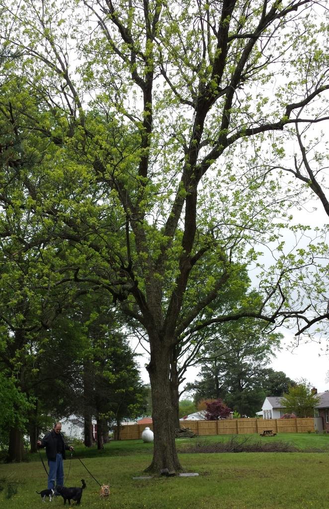 Kippax Hickory Tree
