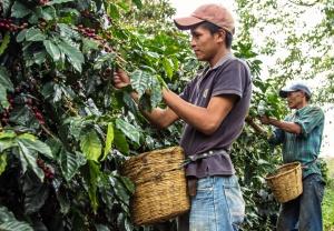 Hand Pickin Coffee in Honduras
