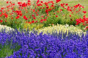 lavender-and-poppy-fields